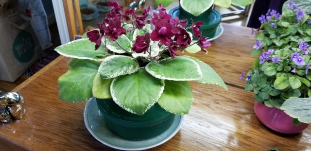 "Standard size, 1.5"" blooms very deep red, semi-double pansy, variegated foliage flat leaf growth. AVSA#9708, 1992, introduced by Ken Stork"