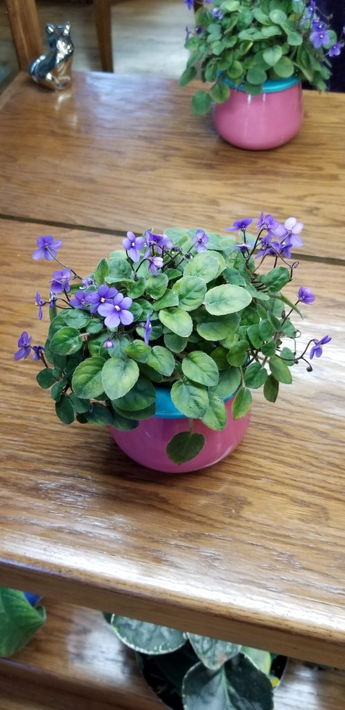"Miniature trailer, medium blue-violet, 1"" dia blooms, mature plant size 5-7"", hybridizer Lyndon Lyon"