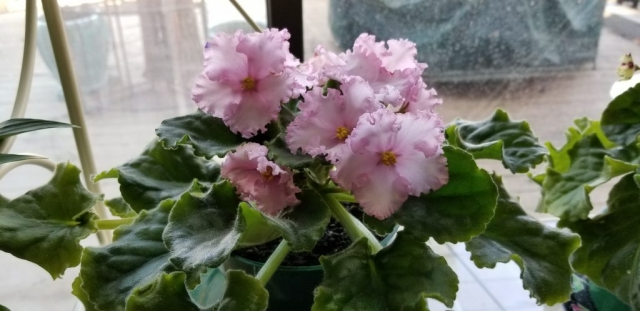 "Standard size, Pink with a few tiny blue dots, 2"" bloom, foliage ruffled"