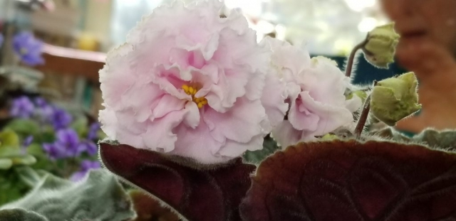 "Standard, Russian variety EK White Queen Belaia Korolera, White to pale pink 2.25"" blooms tripple ruffled, foliage is medium green pointed quilted ovate."