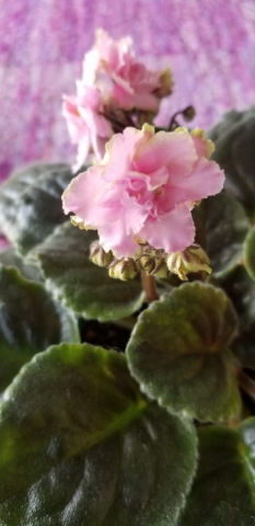 "Standard size, Pink 1.75"" flower with white to green edges, blooms on tall stems in clusters. Foliage lightly quilted., Hybridizer Lyndon Lyon."