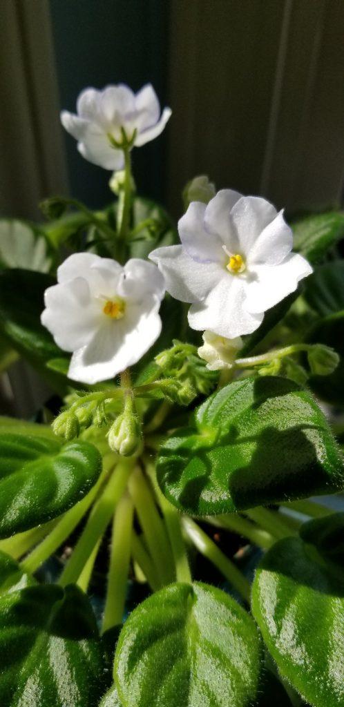 Miniature size, mature plant size    flower dia