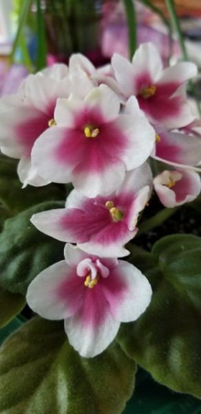 Hybridizer:  Optimara, Martin Holtkamp AVSA#10641, 2009.  Type: Medium Standard, Series 'myViolet'. Color:  Large white with pink eye, Single, Pansy Bi-Color. Size/Growth Habit: Medium  to dark green plain leaf, slight heart-shape, mild serration, red reverse