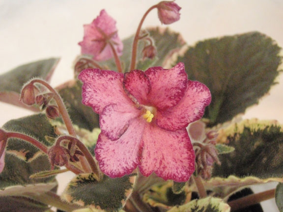 Hybridizer:  Lyndon Lyon Greenhouse,   AVSA#8745  (Hancock). Type: Semi-miniature, Color: Semi-double bright pink ruffled pansy/variable raspberry fantasy; raspberry edge, Size/Growth Habit: Variegated dark green, cream and pink, plain, glossy/red back