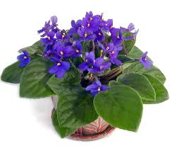 The oiriginal african violet species. Color Blue Violet.