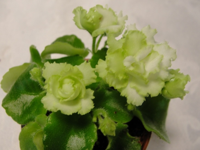 Hybridizer:   Lyndon Lyon Greenhouse,  AVSA#7577. Type: Semi-miniature.  Color: A powerhouse of small, bright green, double flowers accented with varying amounts of white in      miniature