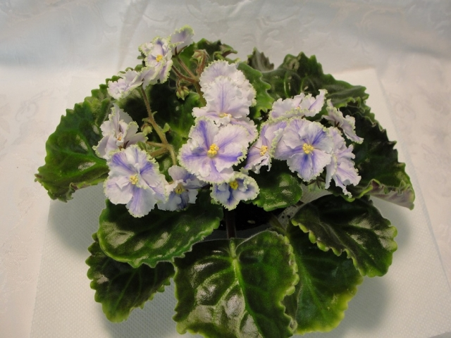 Hybridizer:  Horikoshi/Shinohara, ASVA#7810, introduced 10/3/92. Large Standard,  Semi-double, double white and blue frilled star/variable green edge. Size/Growth Habit:  Green, quilted, glossy, wavy/red back.                                                           Standard