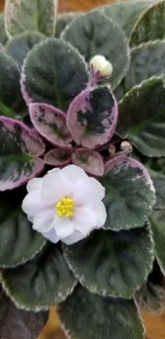 Hybridizer:                           (purchased from GA grower at Atl Home Show 1988)                                                                                                                                                                                    Type:  semi-miniature                                                                                                                                                                        Color:   White . . .Clusters of semi-double white blooms with centers of yellow.                                                                                                                                                                                                                                                                                                                                                          Size/Growth Habit: Foliage medium green and white variegated. Compact grower.                                                                                                                                                                 Special Notes: