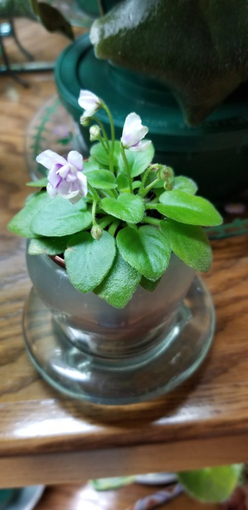 Miniature African Violet